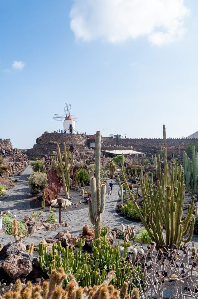 View over a cactus garden on a sunny day with a windmill in the background
