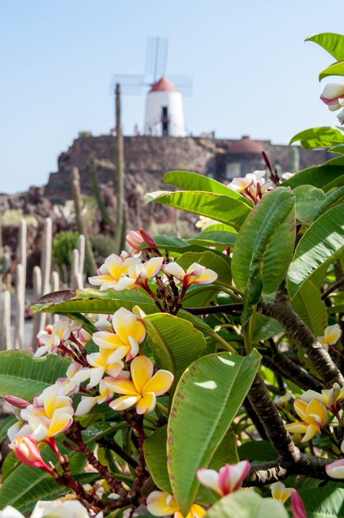 Close up on a cactus with flowers and a windmill in the background