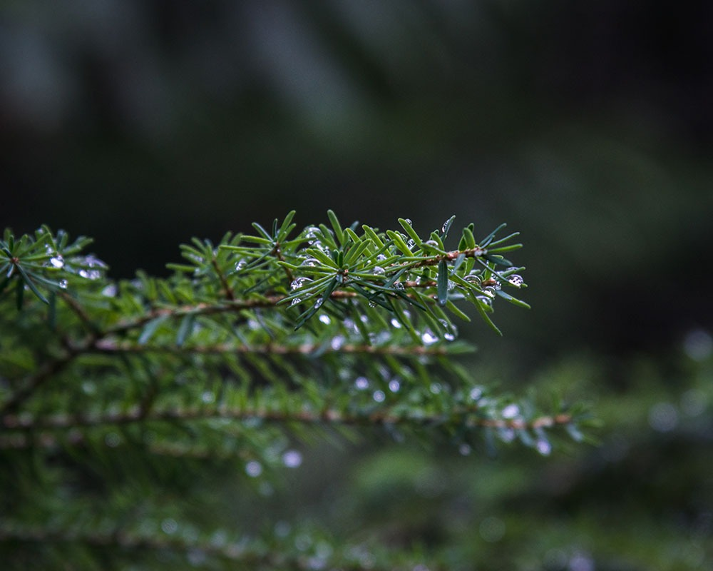 Closeup of evergreens needles with droplets of water