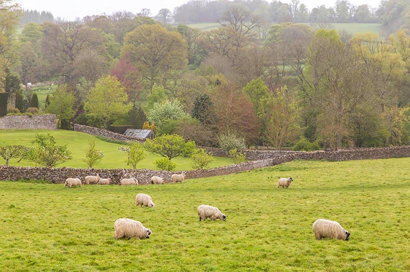 Sheep feeding on a green grass field with a forest in the background